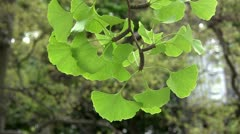 Ginkgo biloba leaves - stock footage