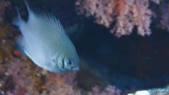 pale damselfish defending his breed, red sea - stock footage