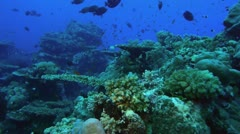 Coral reef, beautiful landscape ofpristine hardcorals, red sea Stock Footage