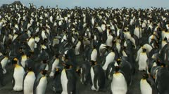 South Georgia: king penguin crowd 1 Stock Footage