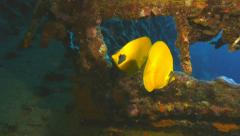 Two yellow butterfly fish in sunken ship, red sea Stock Footage
