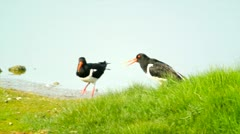 Mating Oystercatchers Stock Footage