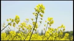 rapeseed flowers1 - stock footage