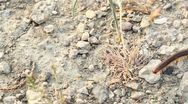 The brown centipede creeps on the ground. Macro Stock Footage
