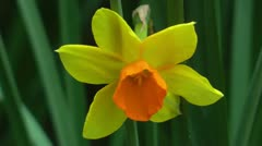 Pretty yellow and orange narcissus closeup Stock Footage