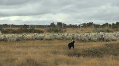 Patagonia sheep and dog Stock Footage