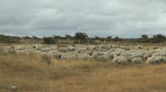 Patagonia sheep moving Stock Footage