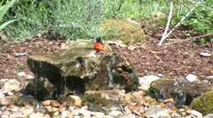 Baltimore oriole bath2 Stock Footage