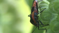 milkweed bug - stock footage