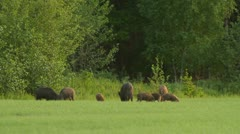 Wild boars eating Stock Footage