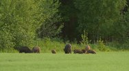 Stock Video Footage of Wild boars eating