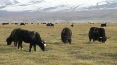 Yaks grazing in a meadow Stock Footage