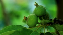 Green apples weigh on the branches Stock Footage