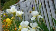 Stock Video Footage of Old White Pickett Fence With Flowers 2
