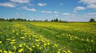 Road in the dandelion field Stock Footage