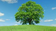 Solitary old maple Stock Footage