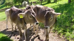 Baby cows bavarian alps Stock Footage
