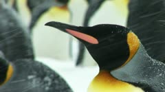 South Georgia: king penguin 1 Stock Footage