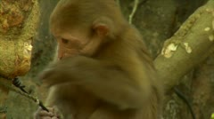 Luang phabang laos lao recess monkey with tourist in small area Stock Footage