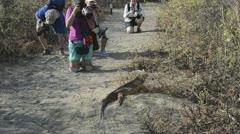 Isabella island galapagos islands ecuador green iguana reptile with tourists  Stock Footage