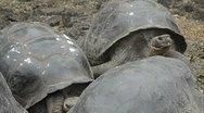 Galapagos islands ecuador fabulous giant tortoises with shells on santa cruz  Stock Footage