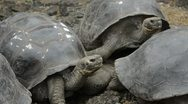 Galapagos islands ecuador fabulous giant tortoises with shells on santa cruz  Stock Footage