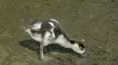 Egyptian Goose Gosling Stock Footage