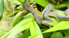 Juvenile Amazon Tree Boa (Corallus hortulanus) Stock Footage