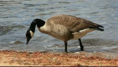 Grounded goose Stock Footage