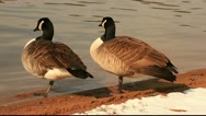 Stock Video Footage of Winter geese