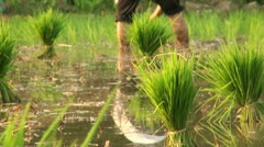 Planting rice close up, reflection of legs in water pond Stock Footage