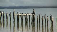 Puerto Natales birds on posts s2 Stock Footage