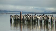 Puerto Natales birds sitting on posts s2 Stock Footage