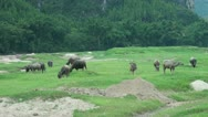 Herd of buffaloes in China Stock Footage