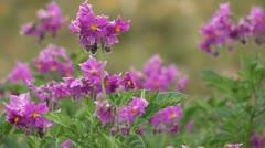 Peru: Blossoming Potato Plants Stock Footage