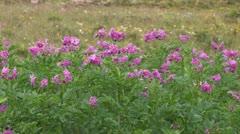 Peru: Potato Field in Bloom Stock Footage