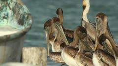Brown pelicans mexico wildlife Stock Footage