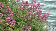 Coastal Red Valerian Plant Stock Footage