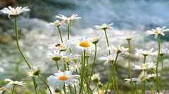 Marguerites in the wind with mountain river in background+sound. Stock Footage