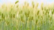 Rye field. Stock Footage