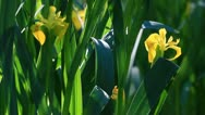 Spring yellow iris Stock Footage