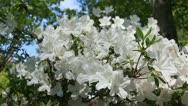 White azalea Stock Footage