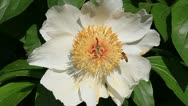 White peony with bee Stock Footage