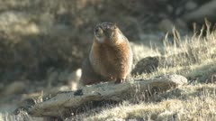 P02015 raukkamainen Marmot Rocky Mountain National Park Arkistovideo