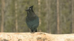 P02017 Steller Jay Bird at Rocky Mountain National Park Stock Footage