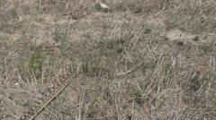 P02003 Bull Snake Slithering Through Prairie Stock Footage