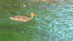 Female Duck in River Stock Footage