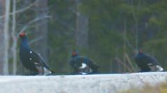 Black grouse Stock Footage