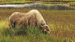 Moose in Muskeg Marsh Browsing on Horsetails Stock Footage