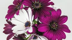 Purple and white camomiles time lapse closing to sleep Stock Footage